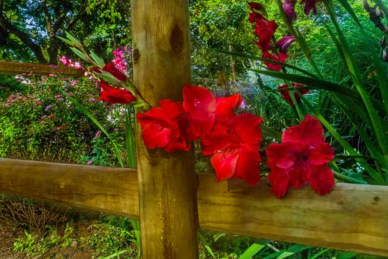 Red Flowers on Fence